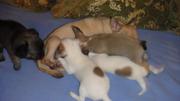 мини чихуахуа щенки продам в городе бобруйск