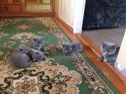 Продажа Британских котят. Родились 15 марта. Три мальчика и девочка.