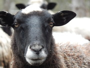 овцы.бараны, ярочки, ягнята.