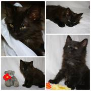 Черный пушистый котенок в дар